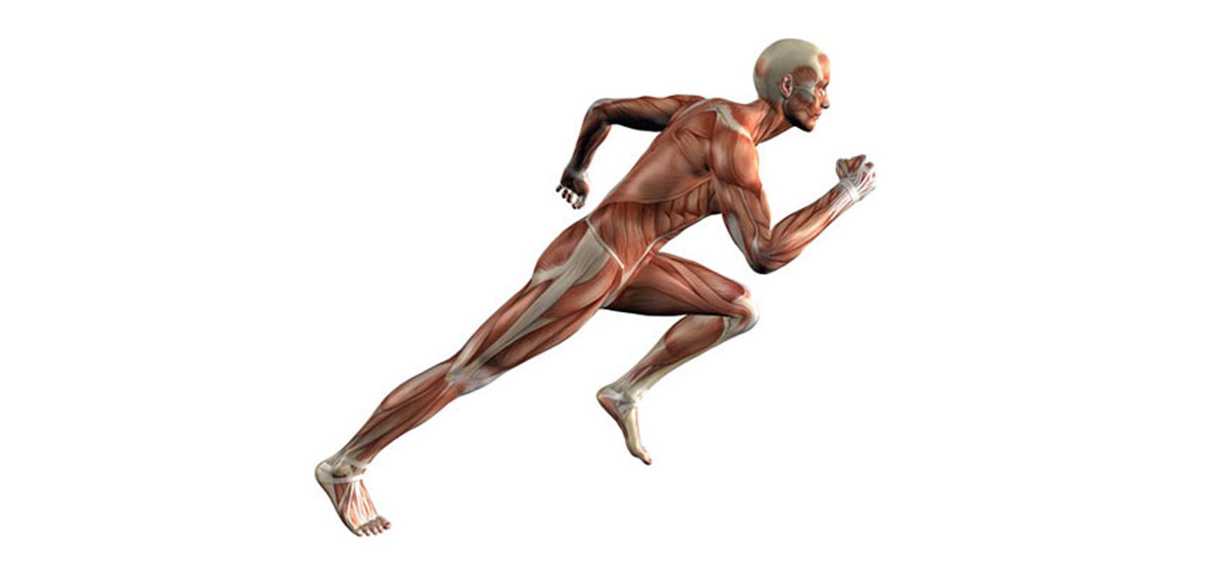 Как тело реагирует на физическую нагрузку