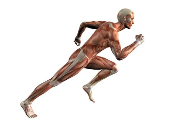 Строение и функции мышц