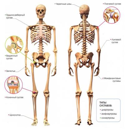Перечислите основные суставы история болезни контрактура правого коленного сустава