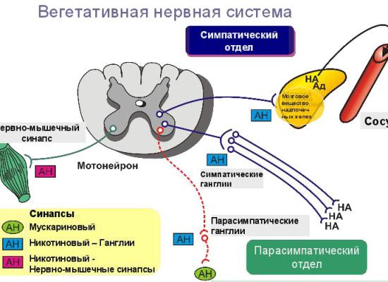 Вегетативная регуляция сердечной деятельности