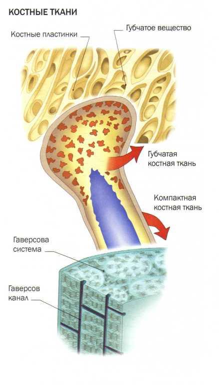 Костные ткани