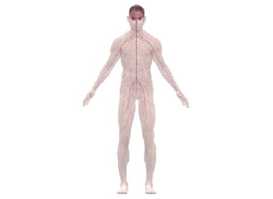 Кровотворные органы