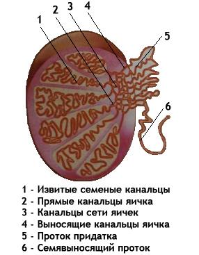 Яички (семенники)