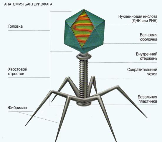 Бактериофаги