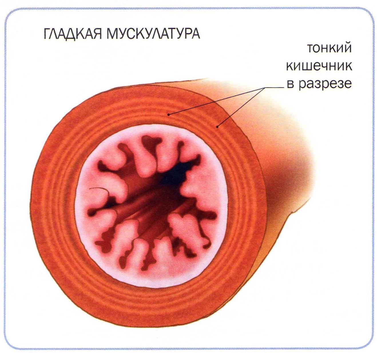 gladkaya-muskulatura