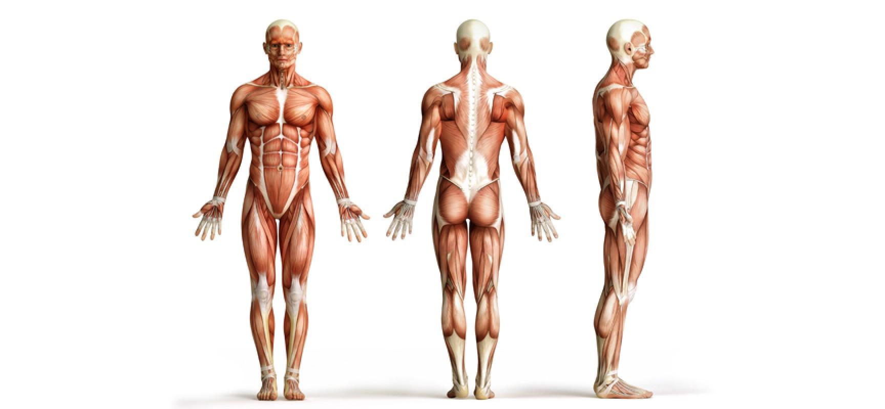 Мышечная система, функции мышц и их значение