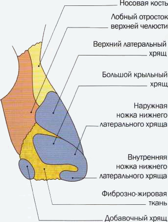 Кости и хрящи носа