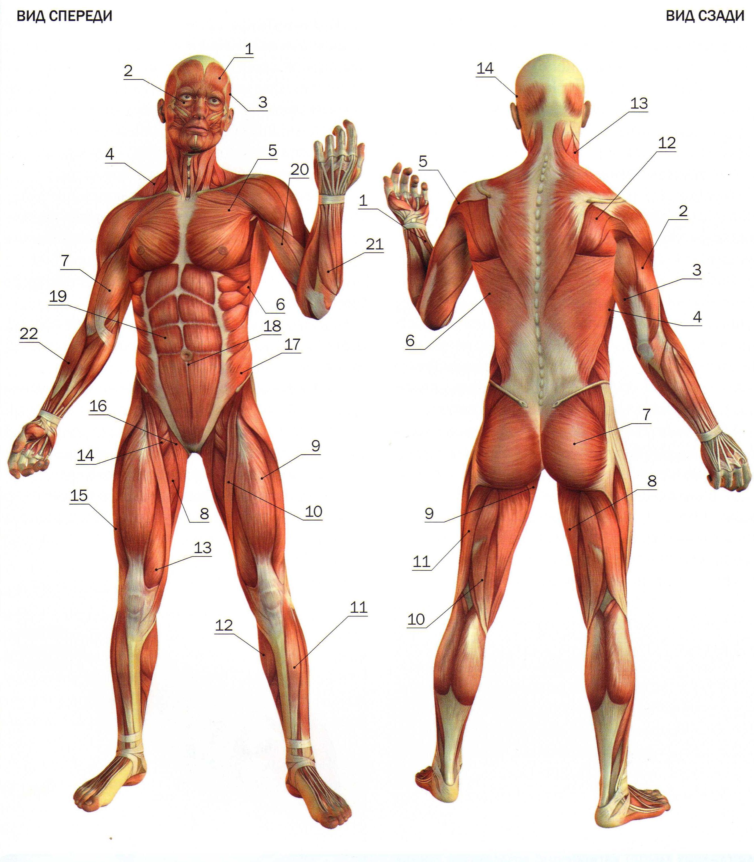 skeletnie-mishci