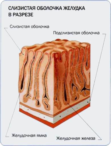 Слизистая оболочка желудка