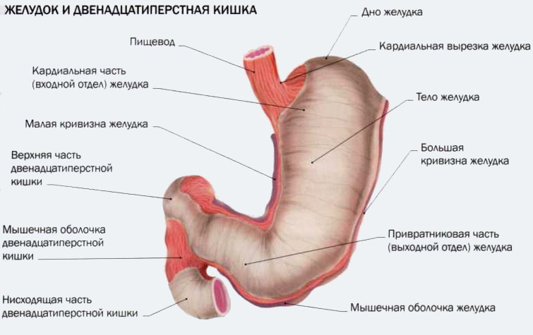 Оболочка кишечника мышечная фото