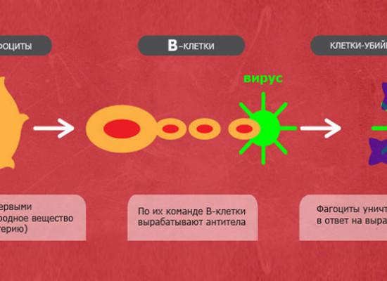 Как работает иммунная система?