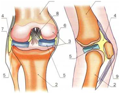 Изображение - Тазобедренный сустав простой koleno