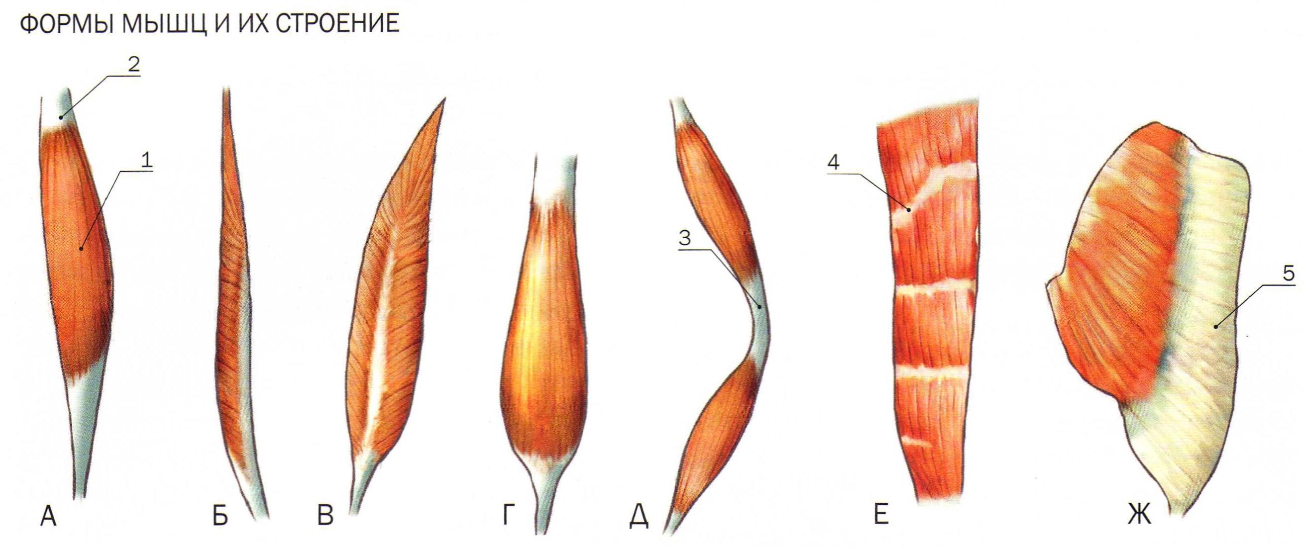 Формы мышц и их строение