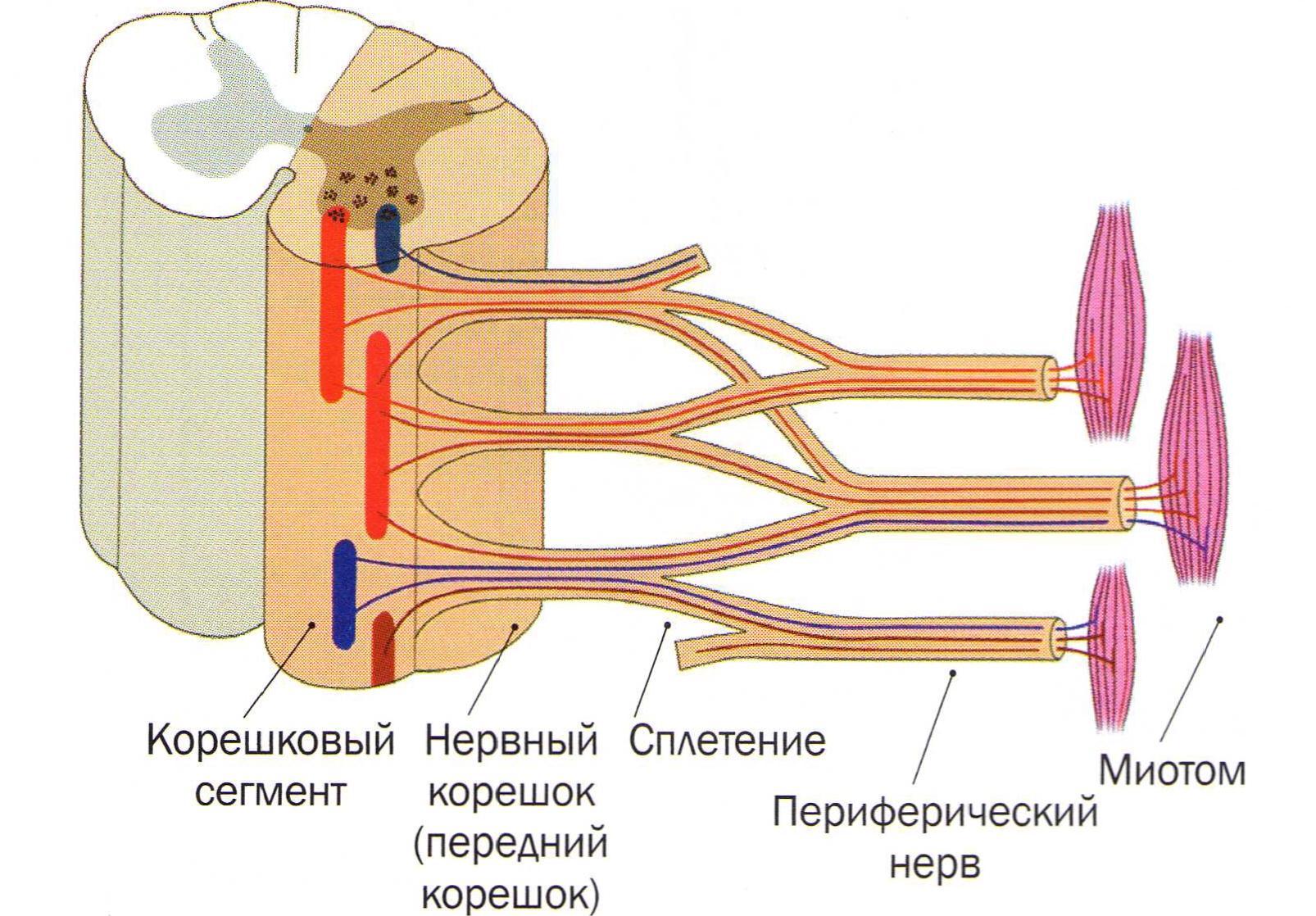 nervniy-koreshok