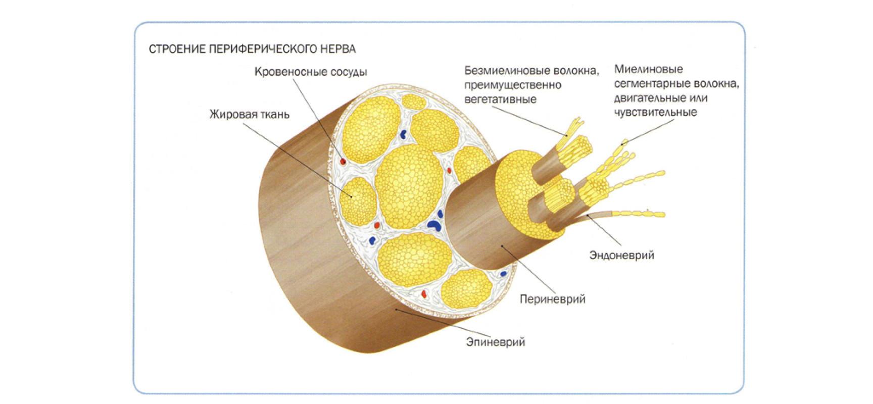 Анатомия периферической нервной системы