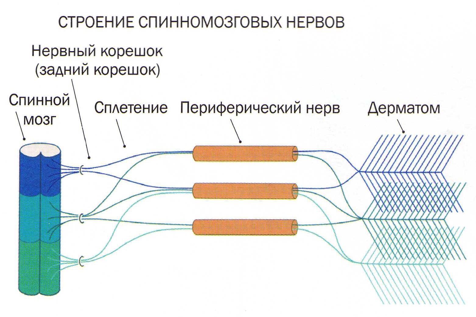 spinomozgovoy-nerv