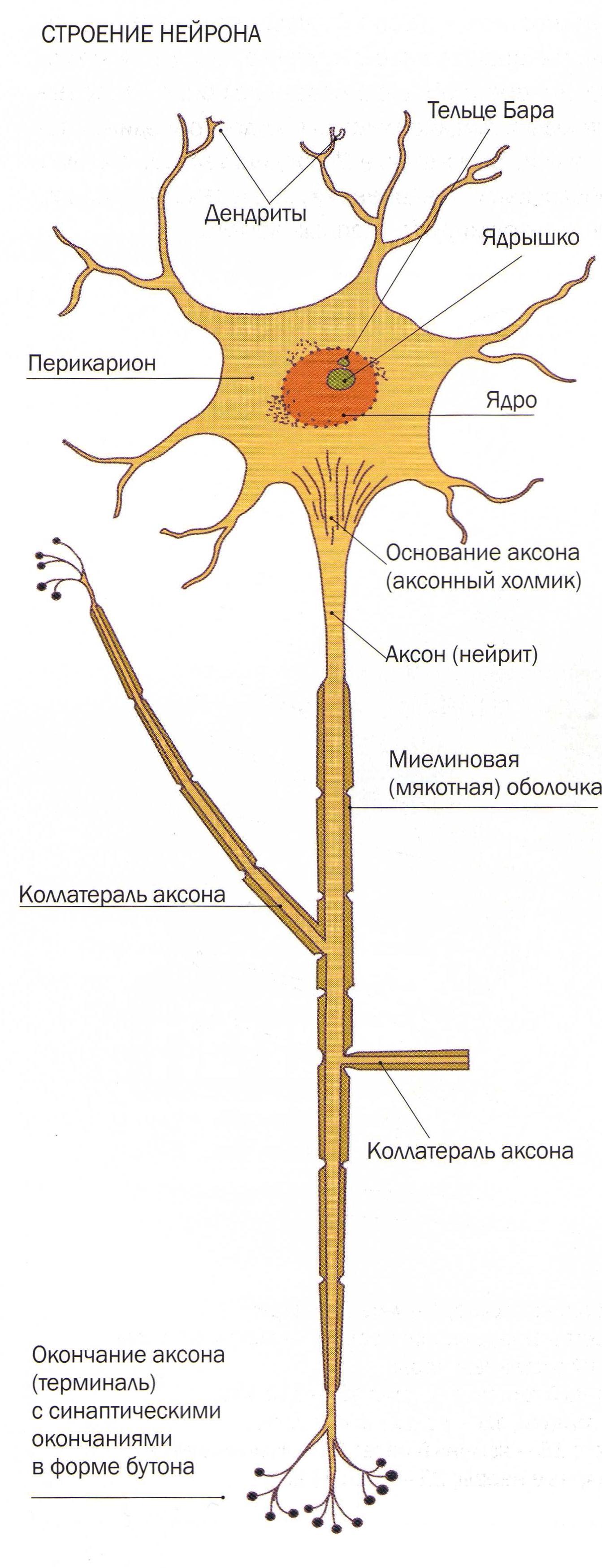 stroenie-neyrona