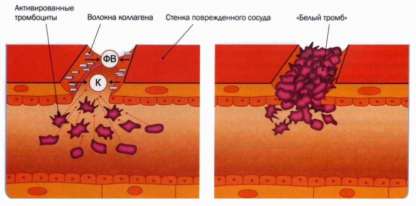 Адгезия тромбоцитов и образование первичного тромба