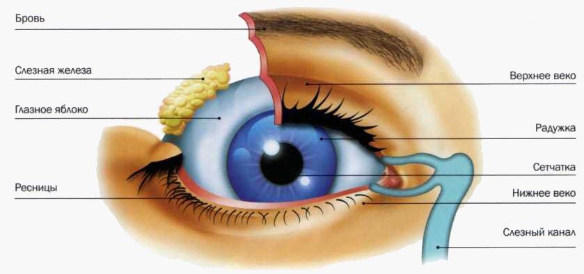 Как устроен глаз