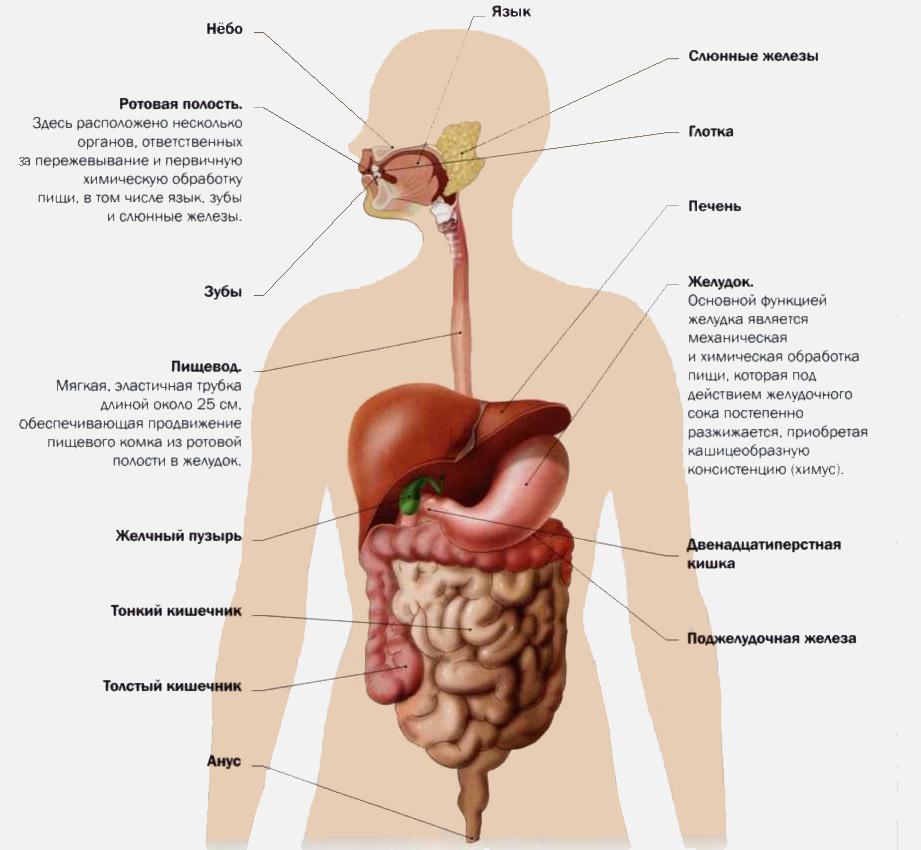 Анатомия желудочно-кишечного тракта (жкт)